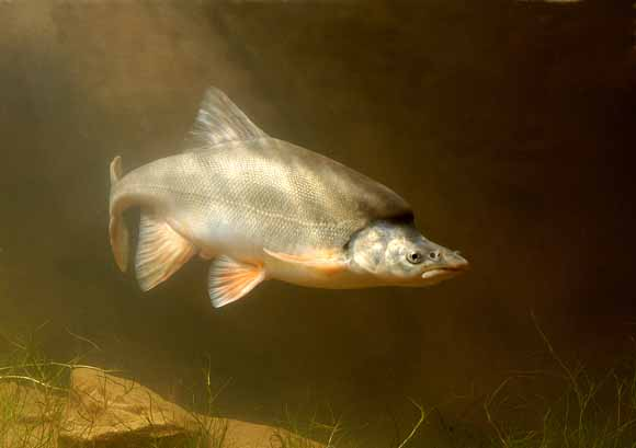 Grand canyon humpback chub population improving for Az game and fish phone number