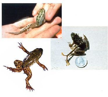the cause of frog mutation and A frog disease is causing major declines too its source is a single-celled   helpful mutations guard some frogs the immune system is the.